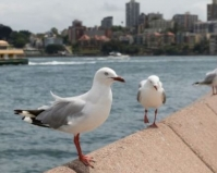Seagulls found to carry antibiotic resistant organisms